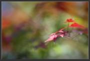 Autumn,Chiharu,Inokashira,Jinja,Park,Shinto,gallery