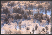 frosty-trees2