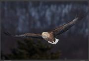 stellar-eagle