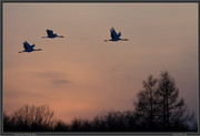 sunset-cranes