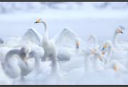swan-steam