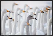 swans-school