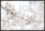 Chofu,Japan,Sakura,Tokyo,cherry blossoms,hanami,spring
