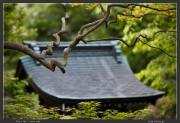 Japan,Jindai,Maple,Tokyo,spring