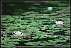 Lillies in the rain