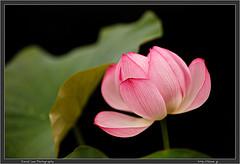 Jindaiji Lotus