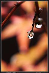 Kusatsu Maple Drop
