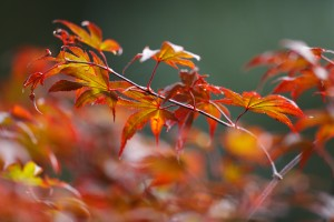 image of a Japanese Maple 